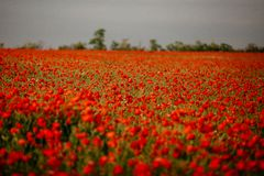 Beautiful field of red poppies. Russia, Crimea royalty free stock photography
