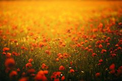 Beautiful field of red poppies in the sunset orange light. Russia, Crimea royalty free stock photos