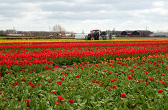 Beautiful field of red tulips Stock Image