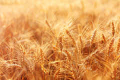 Beautiful field of ripe wheat Stock Photo