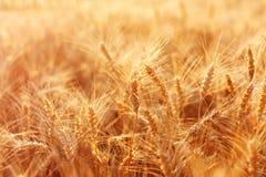 Beautiful field of ripe wheat. On a summer evening Stock Photo