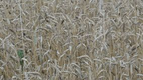 Beautiful field of ripe wheat, spikelets of wheat sway in the wind stock video footage