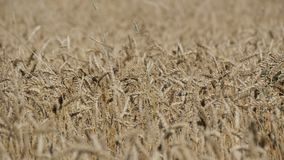 Beautiful field of ripe wheat, spikelets of wheat sway in the wind stock footage