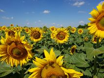Beautiful field with sunflower in Russia. Fragment of a beautiful field with sunflower in Russia Stock Image