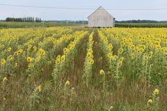 Summer day in a sunflower field / Journée d'été dans un champ de tournesol. Beautiful field of sunflowers in summer 2018 Très belle journée d royalty free stock photography