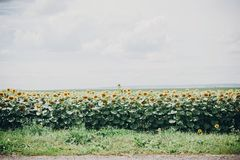 Beautiful field of sunflowers in sunny summer day near road. Farmland, agriculture. View of yellow flowers and cloudy sky. Countryside landscape stock image