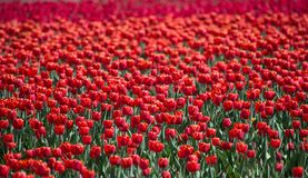 Beautiful field of tulips with red tulip royalty free stock images