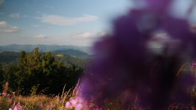 Beautiful field of violet flowers and wheat swaying in wind on the top of mountains at sunny summer day. Incredible mountain natur stock video footage