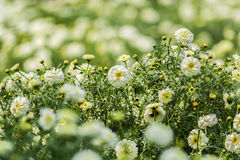 Beautiful field of white Marigold flowers. Beautiful White Marigold flowers sourrounded by green and yellow leaves in a garden Royalty Free Stock Images
