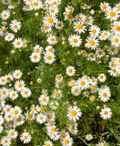 Beautiful field of wild daisies. Vertical photo royalty free stock photos
