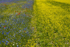 Beautiful field of yellow and blue flowers Royalty Free Stock Photo