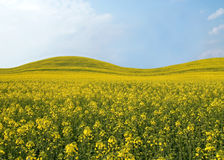 Beautiful field with yellow flowers. Royalty Free Stock Photo