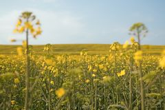 Beautiful field with yellow flowers. Royalty Free Stock Photography