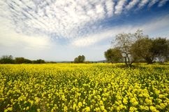 Beautiful field of yellow flowers with olive trees and blue cloudy sky in the Tuscan countryside, near Pienza Siena. Italy Royalty Free Stock Photos