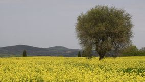 Beautiful field of yellow flowers with olive trees and blue cloudy sky in the Tuscan countryside, near Pienza Siena, Italy. 4K UHD Nikon D500 stock footage