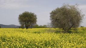 Beautiful field of yellow flowers with olive trees and blue cloudy sky in the Tuscan countryside, near Pienza Siena, Italy. 4K UHD Nikon D500 stock video