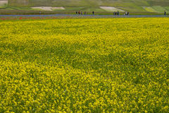 Beautiful field of yellow flowers. This is a beautiful field of yellow flowers in the plain of Castelluccio di Norcia, Umbria, Italy. In this land they are Stock Photography