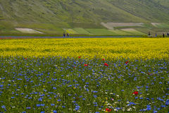 Beautiful field of yellow flowers. This is a beautiful field of yellow flowers in the plain of Castelluccio di Norcia, Umbria, Italy. In this land they are Stock Photos
