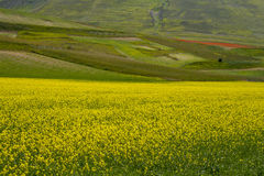 Beautiful field of yellow flowers Stock Photos