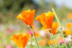 Beautiful Field Yellow Tulips Flower. Stock Photo