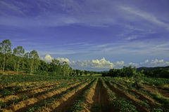 Beautiful fields. This cassava plant field at Bann Dan Lanhoy ,Thailand stock image