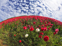 The beautiful fields of ranunculus Royalty Free Stock Photo
