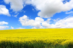 Beautiful fields of rape in Springtime Stock Image