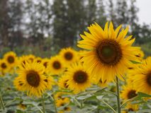 Sunflowers garden.Beautiful fields with sunflowers in the summer. Beautiful fields with sunflowers in the summer. Swinging of sunflower. Sunflowers have stock photography