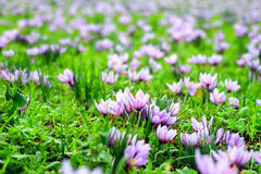 Beautiful fields of violet crocuses Stock Photo