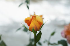 Beautiful fiery orange rose bud isolated against blurred natural background. Horizontal shot of one rose bud with gradient yellow to red colors, outside in the Stock Photography