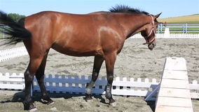 Beautiful filly Hanoverian breed. In the paddock stock footage