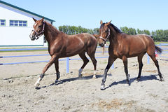 Beautiful filly Hanoverian and Trakehner breed. In feedlot paddock horses Royalty Free Stock Photo