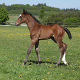 Beautiful filly on pasturage Royalty Free Stock Photo