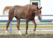 Beautiful filly Trakehner breed in feedlot paddock Stock Photo