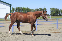 Beautiful filly Trakehner breed. In feedlot paddock horses Stock Images