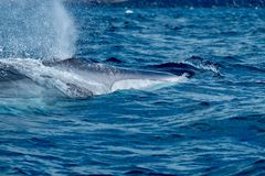 Fin whale Balaenoptera physalus surfacing. Beautiful fin whale close up stock images