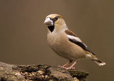 Beautiful finch bird. Hawfinch bird (Coccothraustes coccothraustes) sitting on a wood Royalty Free Stock Photo