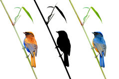 BEAUTIFUL Fineart bird photography (Rufous-bellied Niltava) perching on ba Stock Images