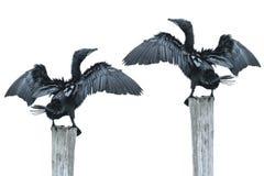 Beautiful Fineart photographer Bird open wing on log (Little cormorant, Ja Royalty Free Stock Image