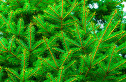 Beautiful fir branches Royalty Free Stock Image