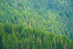 Beautiful Fir Forest at the National Park Durmitor in Fog, Montenegro, Balkans Royalty Free Stock Image
