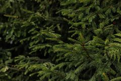 Beautiful fir with green branches in forest. Closeup royalty free stock photo