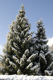 Beautiful fir tree Stock Photo