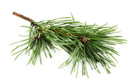 Beautiful fir-tree branch. Stock Image