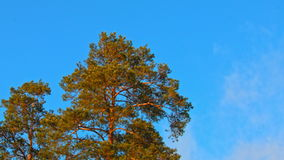 Beautiful fir tree with cones on blue sky background.  stock footage