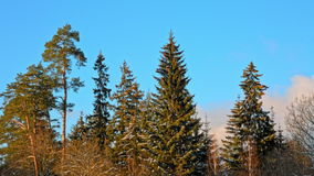 Beautiful fir tree with cones on blue sky background stock video