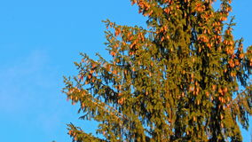 Beautiful fir tree with cones on blue sky background.  stock video