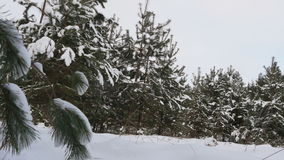 Beautiful fir tree covered with snow, close up view stock footage