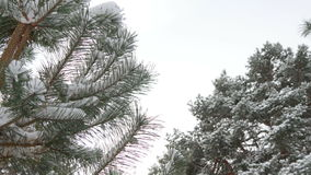 Beautiful fir tree covered with snow, close up view stock video footage