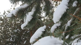 Beautiful fir tree covered with snow, close up view stock video